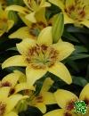Lilie cibule
